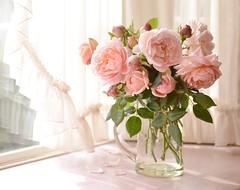 winter afternoon (snowshoe hare*) Tags: dsc0120 rose roses ambridgerose englishrose davidaustin イングリッシュローズ アンブリッジローズ mygarden バラ flowers