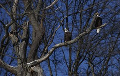 The Eagle(s) Have Landed #1 (Keith Michael NYC (5 Million+ Views)) Tags: mountloretto mountlorettouniquearea statenisland newyorkcity newyork ny nyc baldeagle