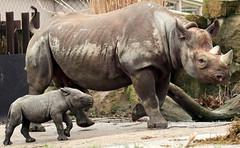 black rhino Blijdorp BB2A8498 (j.a.kok) Tags: rhino rhinoceros blackrhinoceros zwarteneushoorn neushoorn babyneushoorn neushoornkalf rhinocalf calf kalf africa afrika animal blijdorp mammal zoogdier dier herbivore naima blijdorpzoo