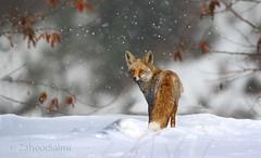 Red Fox (Zahoor-Salmi) Tags: red fox zahoorsalmi salmi wildlife pakistan wwf nature natural canon birds watch animals bbc flickr google discovery chanals tv lens camera 7d mark 2 beutty photo macro action walpapers bhalwal punjab