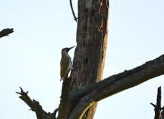 Green Woodpecker (Cant Beat The Drumm) Tags: green woodpecker fife scotland birding branch kinghorn loch kingfisher bone rook wedge brown