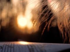 L Y R E B I R D (Vivi Black) Tags: sun feathers macro romantic life music fiction myfavouritenovel macromondays