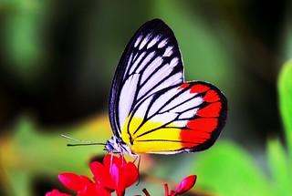 Butterfly in red flowers