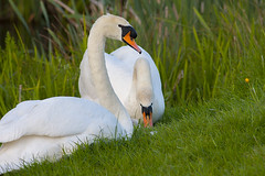 Pair of Swans (Fishlady_UK) Tags: pairofswans swans abbey redditch