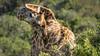 Giraffe (hjuengst) Tags: giraffe plettenbergbay plettenberggamereserve nature naturereserve gardenroute animal wildanimal