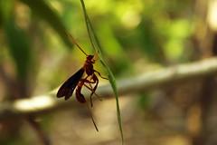 Labena grallator (alex.thornber) Tags: labena grallator wasp ichneumon parasitoid hymenoptera mangrove florida picnic island macro summer