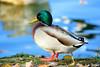 Oh tu n'as pas de WC chez toi ? :o) (jean-daniel david) Tags: closeup canard colvert reflet rivière bokeh feuille oiseau oiseaudeau pelouse nature bleu vert