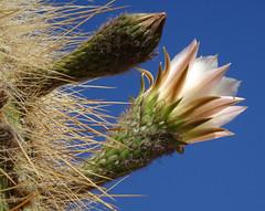 118 November;  Kandelaber-Kaktus blüht - now they're in bloom (roving_spirits) Tags: chile atacama atacamawüste atacamadesert desiertodeatacama désertcôtier küstenwüste desiertocostero coastaldesert
