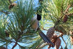 IberianAzureWingedMagpie_PineTree (hawaza) Tags: bird birds azurewingedmagpie iberianazurewingedmagpie magpie tree pinetree riaformosa algarve portugal