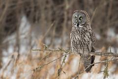 Great Gray Owl (Scott Weberpal) Tags: bird birding minnesota saxzim nikon d500 200500 wildlife winter great gray owl outdoors nature cold