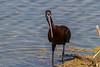 Glossy Ibis, Marievale, Oct 2017 (roelofvdb) Tags: 93 glossyibis ibis ibisglossy southernafricanbirds