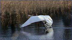 9G4A5628 (tysa51) Tags: cygne blanc décollage oiseaux plume bec palmé