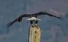 """It's all mine!"" (nickinthegarden) Tags: americanbaldeagle baldeagle eagle harrisonriver harrisonmillsbccanada"