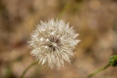 Dandelion (LachMH) Tags: canberra cbr flower nature dandelion bokeh canon macro white
