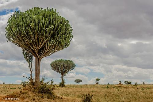 Candelabra Trees in Tanzania