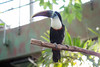 (Afraz Anosh) Tags: rainforest greenplanet dubai toucan bird birds