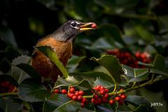 American Robin (jt893x) Tags: 150600mm americanrobin bird d500 jt893x nikon nikond500 robin sigma sigma150600mmf563dgoshsms songbird thrush turdusmigratorius coth alittlebeauty coth5 sunrays5