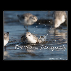 splish splash (wildlifephotonj) Tags: sanderling sanderlings beachbirds shorebirds wildlifephotographynj naturephotographynj wildlifephotography wildlife nature naturephotography wildlifephotos naturephotos natureprints birds bird