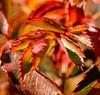 _DSC0941 (steven.frampton) Tags: nature rose leaves