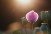 poppyfield (marcuslange) Tags: zeiss makroplanar planar10020ze macro plant poppy poppyfield gegenlicht beautiful beautifullight colorful bloom flower flowers field fields