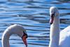 january 2018 lake katherine (timp37) Tags: birds swan swans illinois winter palos lake katherine january 2018