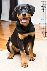 180123_202232 - Meatball (Solid Bond) Tags: second rottie rottweiler dog hamden connecticut ct