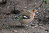 Chaffinch (Karen Roe) Tags: rspbbiggardenbirdwatch2018 annual yearly rspb big garden birdwatch burystedmunds suffolk county town england britain uk unitedkingdom greatbritain gb canoneos760d canon 760d 150600mm sigma lens zoom telephoto wildlife january peaceful quiet tranquil inside outside winter weather season camera photography photograph photographer picture image snap shot photo karenroe female flickr royal society protection birds member