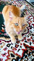 Mario (Sandy Austin) Tags: panasoniclumixdmcfz70 sandyaustin massey westauckland auckland northisland newzealand mario cat rug