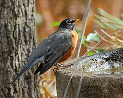 I love orange (Dianne M.) Tags: robin nature outside orange flocks flight backyard florida