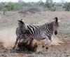 A playful fight! (Jambo53 (!)) Tags: knp krugerwildpark robertkok zebra action fight play landscape mammal zoogdier nikond500 70300 grass dust stof
