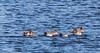 0T4A0549 (2) (Alinbidford) Tags: alancurtis alinbidford brandonmarsh wigeon wildbirds