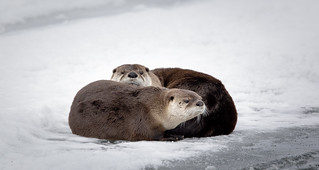Dry Otters on Ice (Explored)