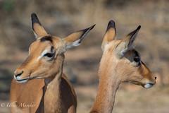 Impala (mayekarulhas) Tags: southafrica safari animal africa impala antilope canon krugernationalpark