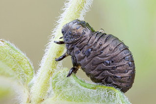 Timarcha larva