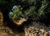 Corse / Corsica / Korsika: Balagne (CBrug) Tags: trail path donkeypath eselspfad muleroad corse corsica korsika balagne weg pfad wanderweg hiking france francia frankreich hautecorse sentier sentiero wandern wanderung du nord outdoor baum tree pflanze arbre árbol albero boom drzewa δέντρο де́рево