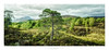 Glen Affric XIX (Passie13(Ines van Megen-Thijssen)) Tags: glenaffric glennaffric highlands schotland schottland caledonianforest forest glen vallei cinematic nature landscape tree canon inesvanmegen inesvanmegenthijssen scotland