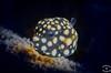 Juvenile Smooth trunkfish (svpv9704) Tags: 2015 bonaire fish fisk juvenilefish macro photographerandreassteding rhinesomustriqueter scubadiving