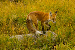 Slowly she turned step by step (ChicagoBob46) Tags: redfox fox vixen yellowstone yellowstonenationalpark nature wildlife ngc npc coth5