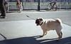 img124 (vegaphoton) Tags: pug tongue street road walking shadow