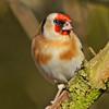 goldfinch (GVG Imaging) Tags: ladywalknaturereserve hamshall warwickshire goldfinch