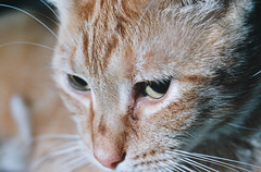 Eye Krispie (Jetcraftsofa) Tags: nikonf3 vivitar5528macro sb24 speedlight kodak portra160 35mm slr filmphotography flashphotography offcameraflash cat neko eye krispie orangecat