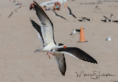 Black Skimmer (Maxine Livingston) Tags: atlanticblvdbeach ftlauderdalebeach sanddunes