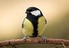 Happiness is a bag of sunflower seeds ;-) (Lt_Dan) Tags: greattit bird nature natureshot wildlife canon600d canon400f56lusm alpago belluno veneto italia italy natura cinciallegre 7dwf