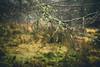 Jewels (i-r-paulus) Tags: rain fernworthyforest dartmoor moorland takumar legacylens moody