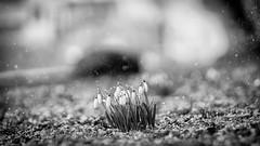 schnee.theater (_andrea-) Tags: galanthus nivalis schneeglöggli schneeglöckchen schnee sonya7m2 carlzeiss mount outdoor objektiv blackandwhitephotography blackandwhite snowdrops snowy snow planart1450