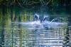 DSC_6396.jpg (b0n2a1) Tags: 2017 grandcirclecruiseline hunawihr naturoparcexcentredereintroduction rhineriver routederibeauville storks animalpark swanmvrhapsody