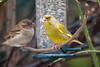 Männlicher Grünfink und Spatz an der Futterröhre - Male greenfinch and sparrow at the feeder (riesebusch) Tags: berlin garten marzahn vögel