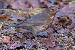 Female Blackbird (markgosling94) Tags: nikon attenborough wildlife nature bird blackbird
