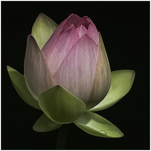 Lotus Bud by Barbara Dunn - Award Class B Digital- January 2018