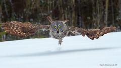 We have lift-off (Earl Reinink) Tags: owl raptor predator bird animal winter cold snow eyes feathers nikon earl reinink earlreinink trees forest woods flight flying ottaadtdta